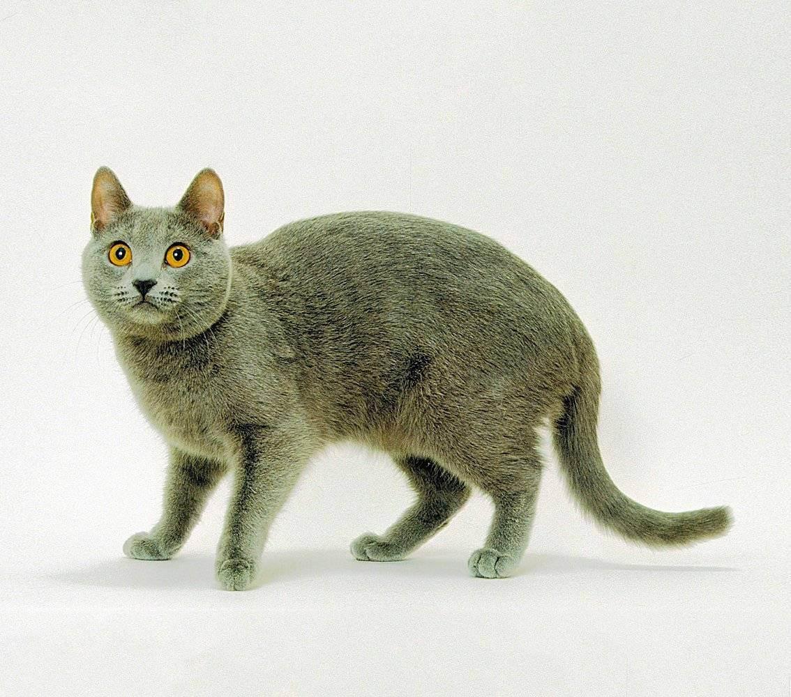 Шартрез, или картезианская кошка