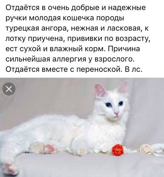 Турецкая ангора (ангорская кошка): фото, описание породы, характер и содержание