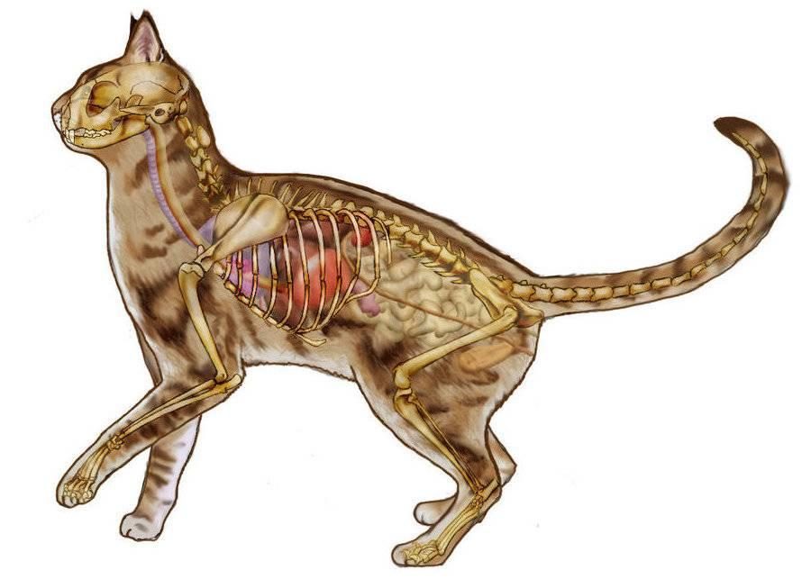 Анатомия внутренних органов кошки - zhivomag