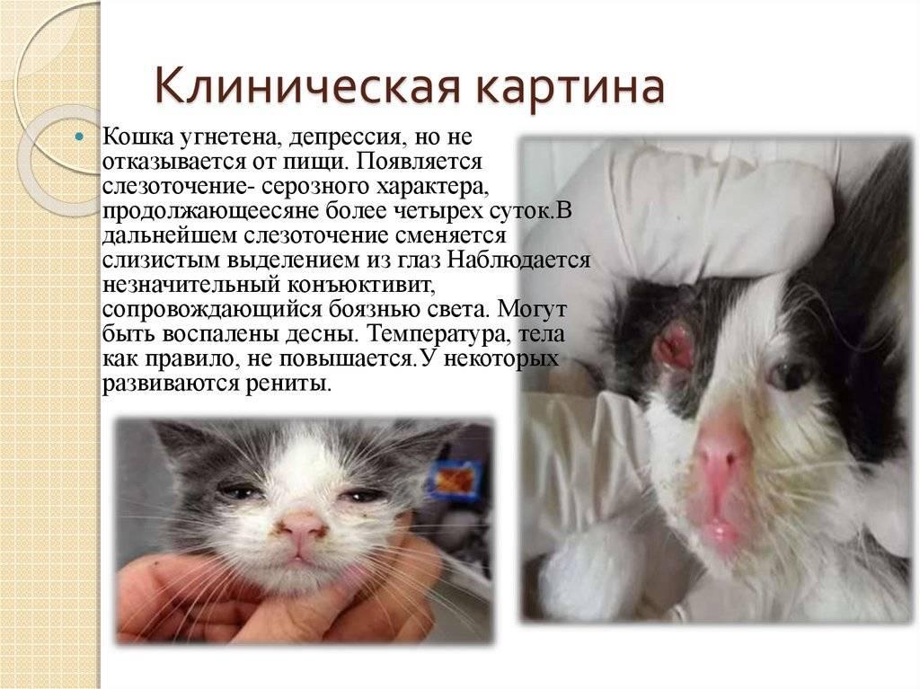 Вирусная панлейкопения кошек. диагностика и лечение панлейкопении кошек | ветпрактика