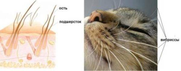 Почему у котенка или взрослой кошки ломаются и выпадают усы, что делать: причины явления