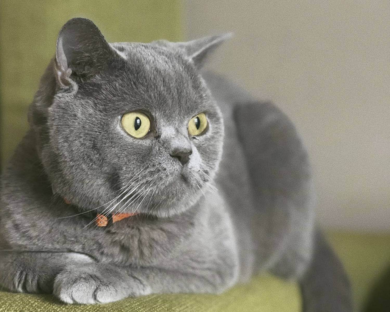 Британская кошка: фото, описание, характер, содержание, отзывы