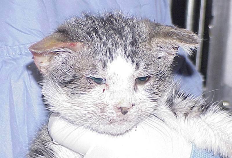 Чумка (панлейкопения) симптомы у кошек и методы лечения
