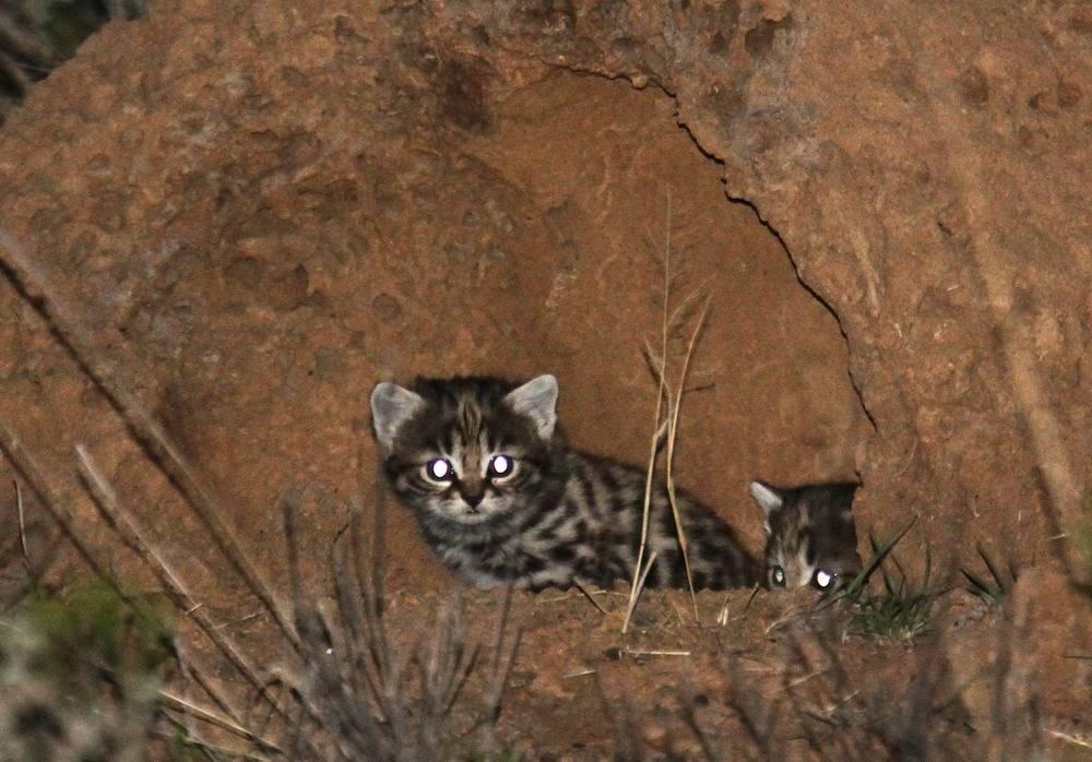 Черноногая кошка. образ жизни и среда обитания черноногой кошки | животный мир