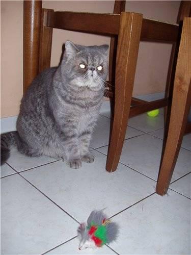 ᐉ в каком возрасте можно кастрировать кота шотландца? - zoo-mamontenok.ru