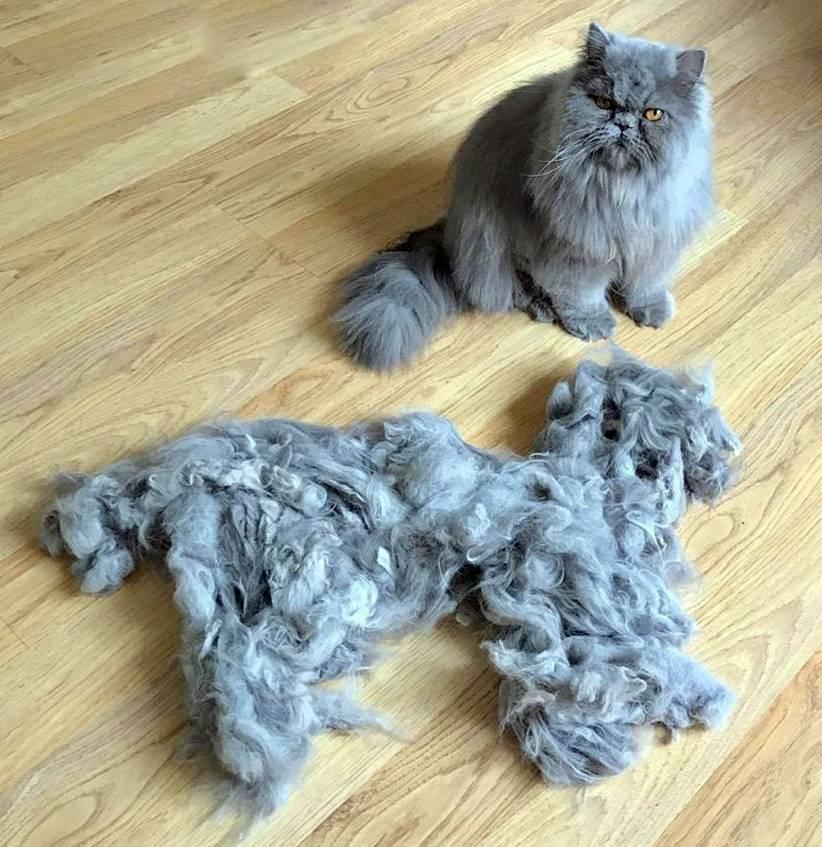 Кошка сильно линяет: что делать и какие меры предпринять