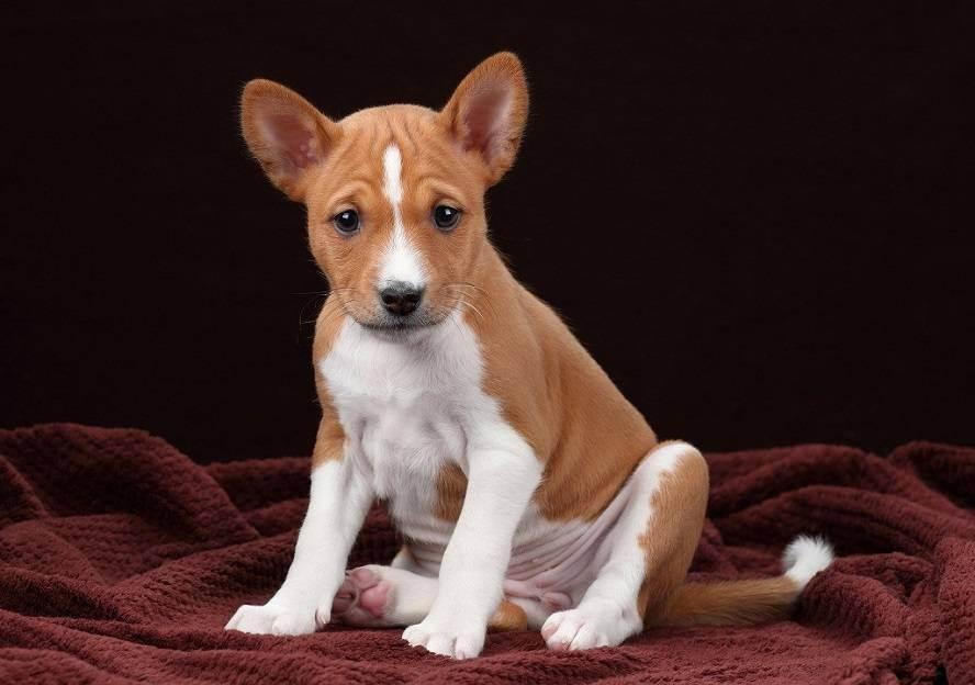Обзор пород собак, которые не линяют и не пахнут: как выбрать такого питомца?