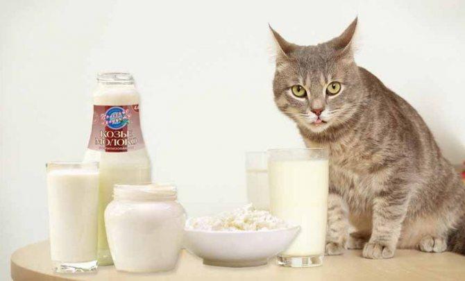 Разбираемся в вопросе, можно ли кошкам молоко
