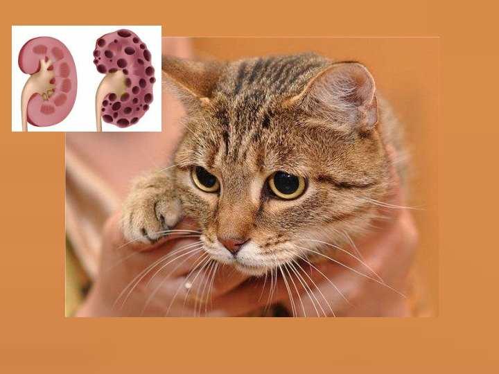 Почечная недостаточность у котов. 9 симптомов заболевания