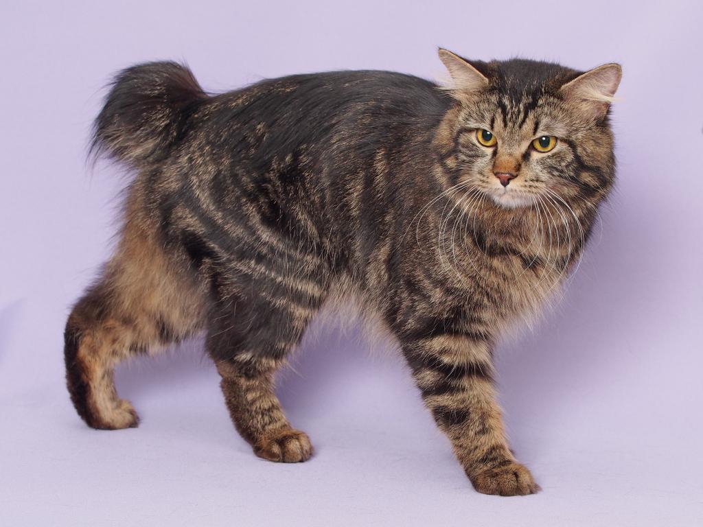 Породы кошек с загнутыми ушами: фото и факты