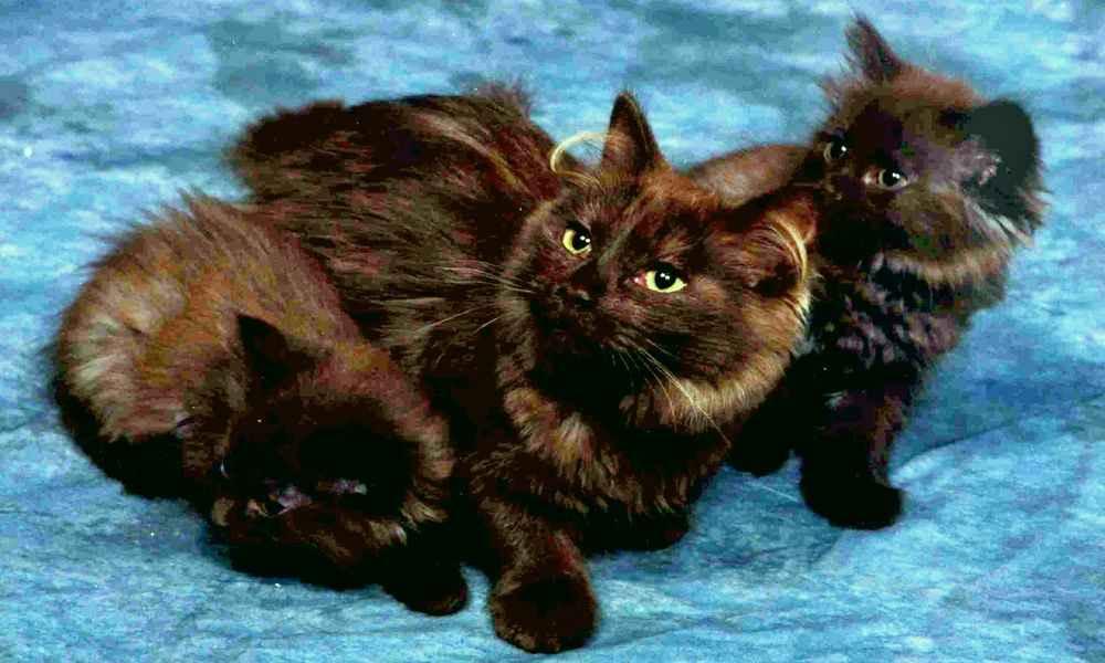 Йоркская шоколадная кошка: происхождение породы, особенности внешнего вида, ухода и содержания