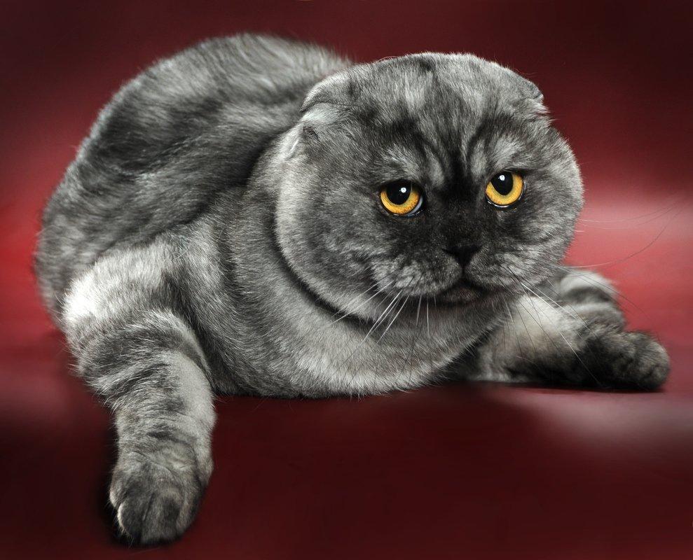 Кошка шотландская вислоухая: фото, цена, описание породы, характер