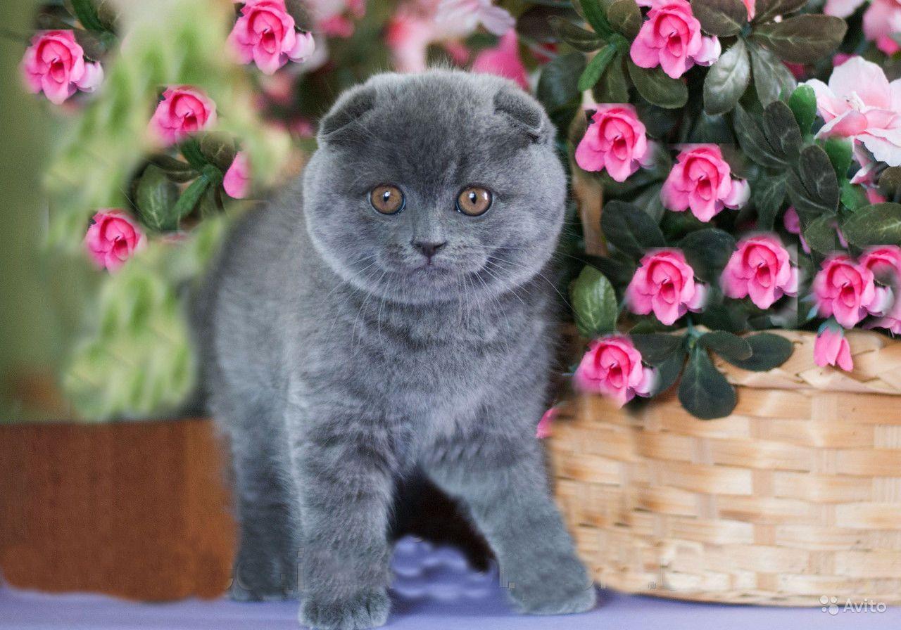 Имя для кота шотландского вислоухого мальчика