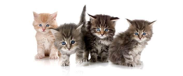 Уход за котенком - уход за котеком, уход за новорожденным котенком, кормление котят, воспитание котят, приучение котенка к туалету, как играть с котятами - всё о кошках и котах