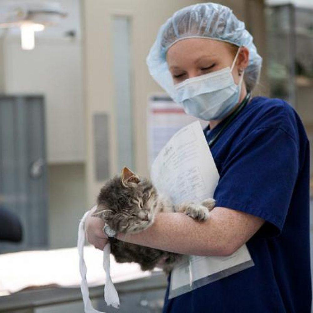 Подготовка кота к кастрации и послеоперационный уход