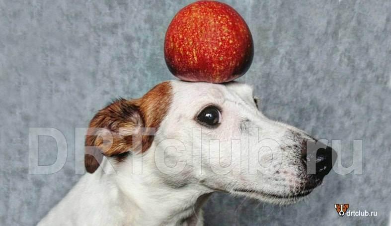 Можно ли яблоками кормить собак?