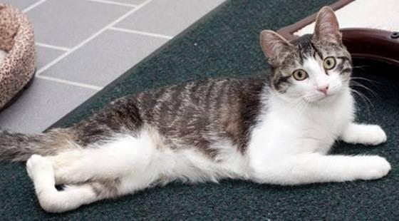 Почему коты британцы хромают. шотландская кошка хромает: причины и лечение