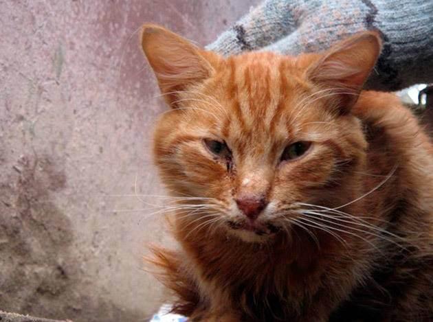 Чумка у кошек (панлейкопения): симптомы и лечение в домашних условиях, опасность для человека