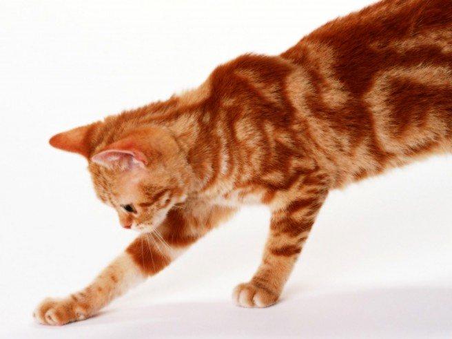 Рыжий кот в доме и приметы с ним связанные
