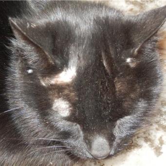 У кошки лысеют уши: причины облысения, что делать, методы лечения