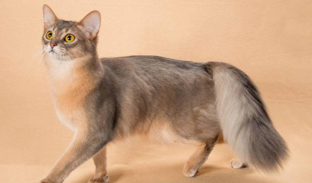 Сомалийская кошка (сомали): описание породы, фото, содержание