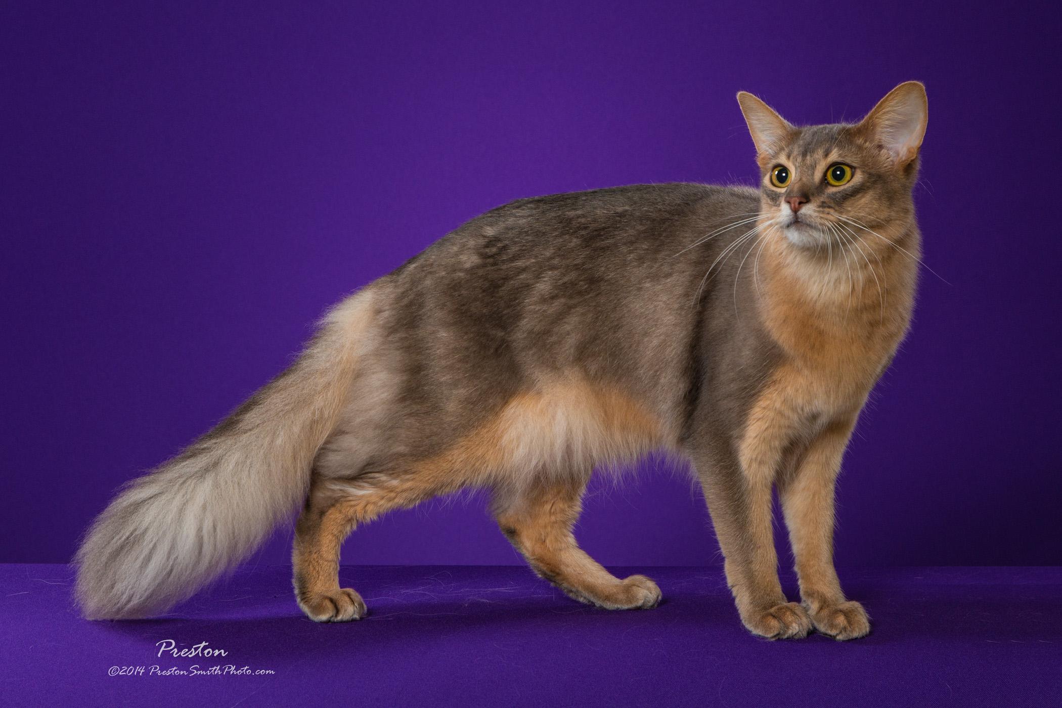 Сомалийская кошка (сомали) — описание породы и характера