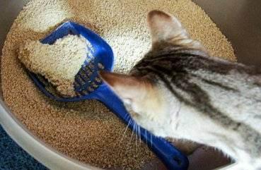 Котёнок ест наполнитель для туалета – что делать?