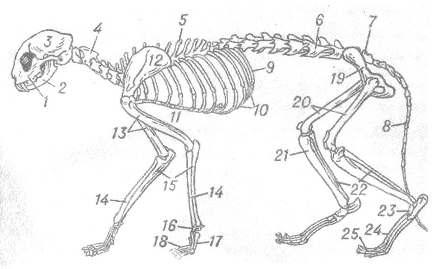 Сколько костей у кошки