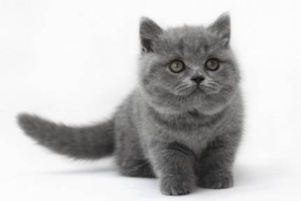 Во сколько месяцев лучше брать котенка британца. все этапы развития котят.