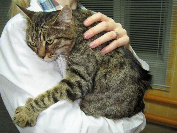 Симптомы и лечение асцита у кошек