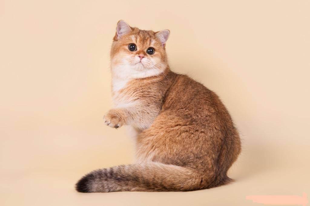 Сколько живет шотландская вислоухая – продолжительность жизни кошки