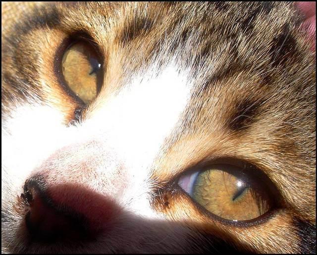 Почему нельзя смотреть кошке в глаза: мистические и научные причины