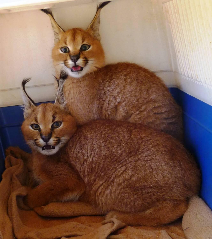 Домашняя порода кошки рысь