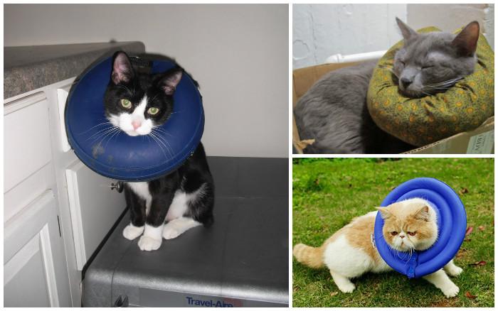 Сколько кошке ходить в бандаже после стерилизации: когда можно снять