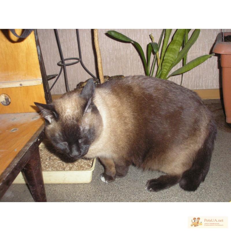 Сколько живут кошки сиамские