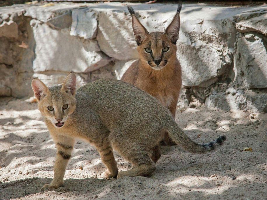 Фото и описание самых маленьких в мире диких и домашних кошек, котов и котят