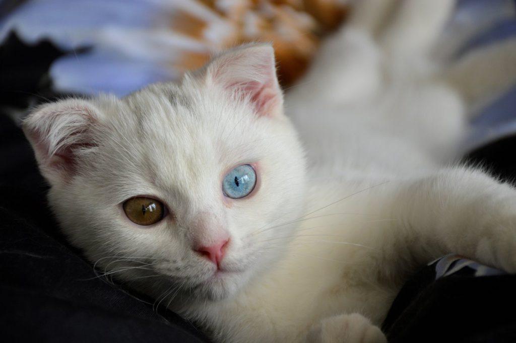 Кот альбинос: правила особого ухода | medeponim.ru