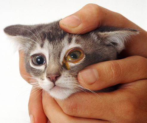 У котенка слезятся глаза: что делать в домашних условиях, когда обратиться к врачу