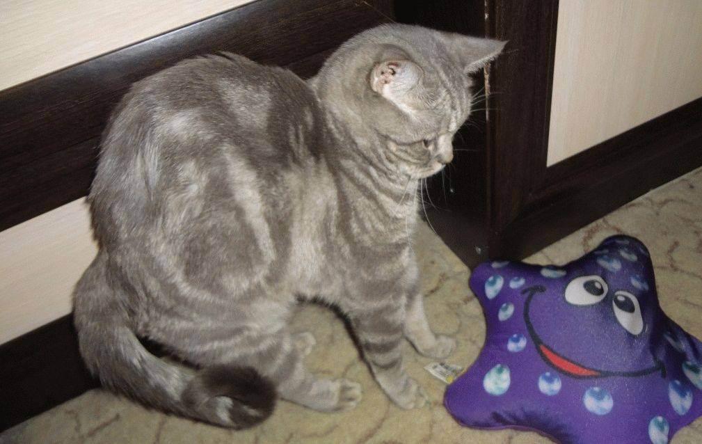 Характер кота британской породы