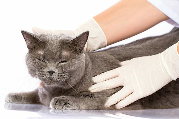 Какие болезни передаются от кошки человеку, и в чем их опасность