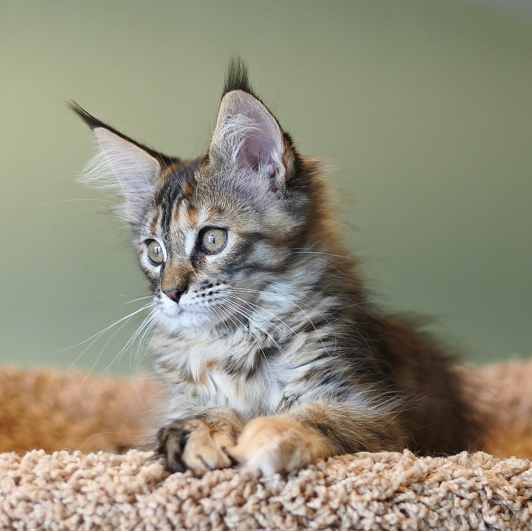 Кошки с кисточками на ушах: мейн-куны, бенгальские, сибирские
