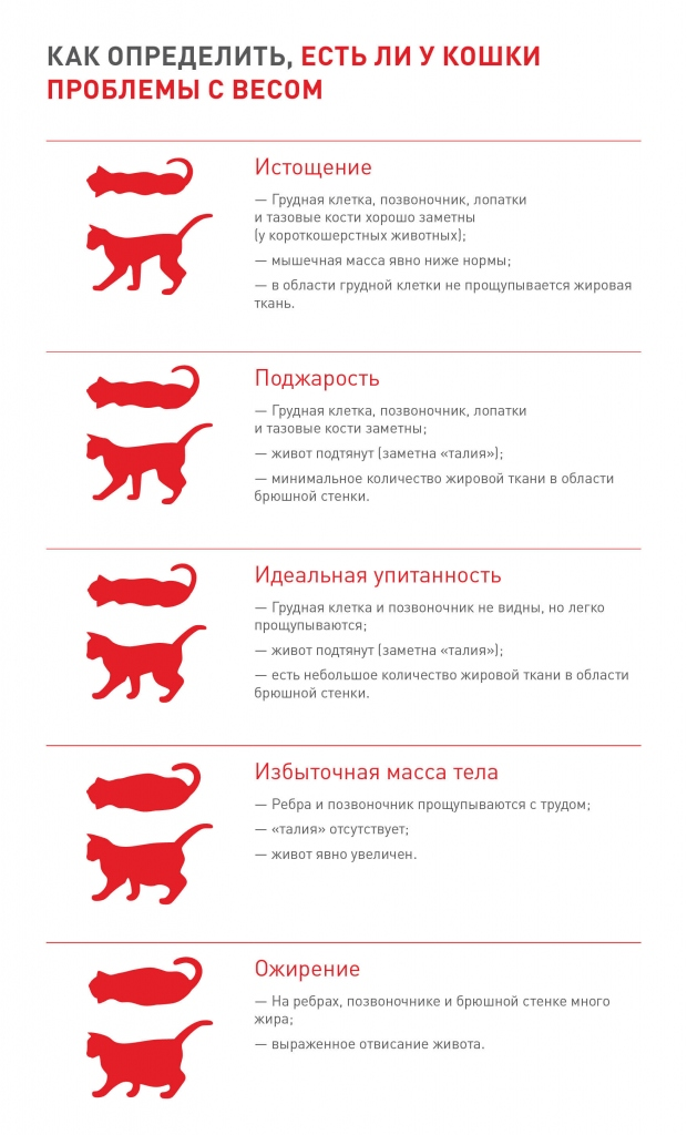 Размеры сибирской кошки – нормы роста и веса