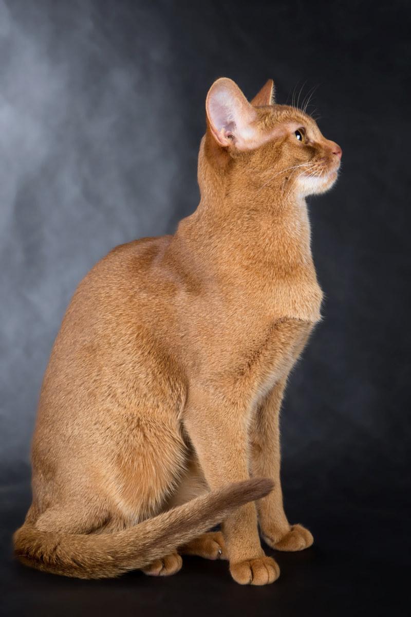 Длинношерстные кошки: список пород с описанием