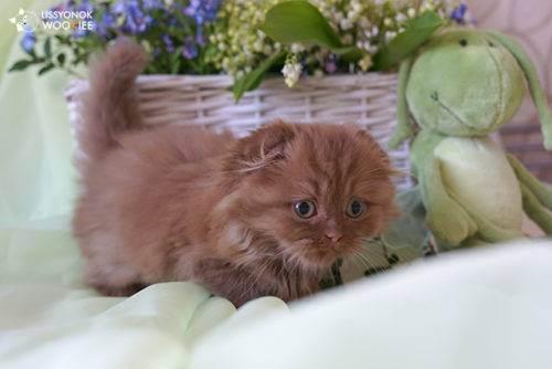 Шотландский котик в доме: сколько должен весить малыш?