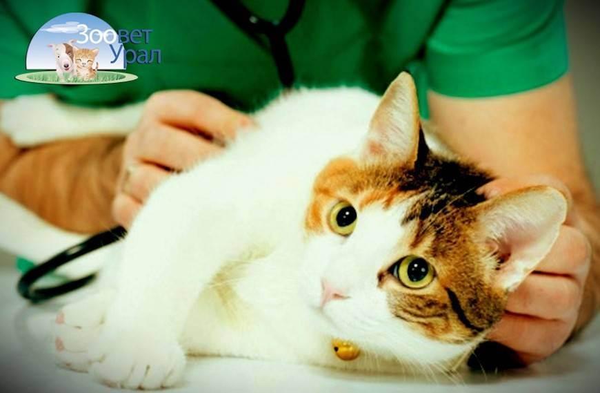 Плюсы и минусы кастрации и стерилизации кота