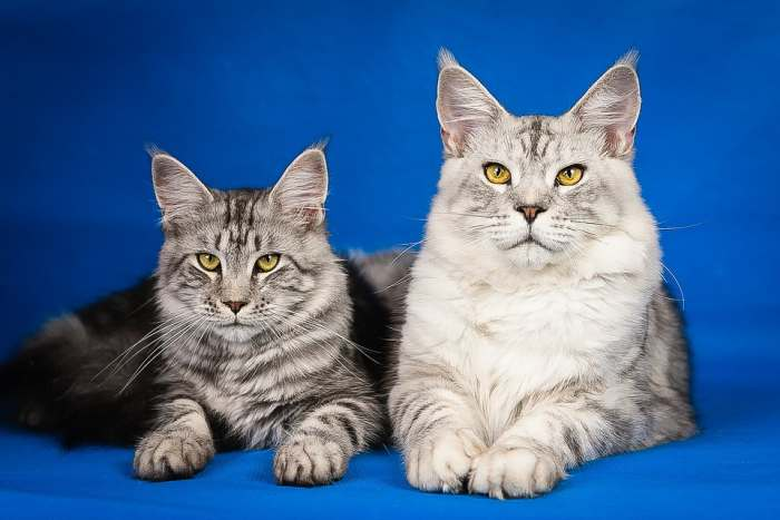 Вязка кошек: все что необходимо знать