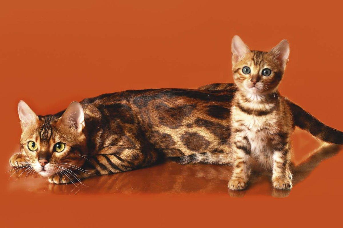 Окрас бенгальских котят - все о фазинге и раскрасах