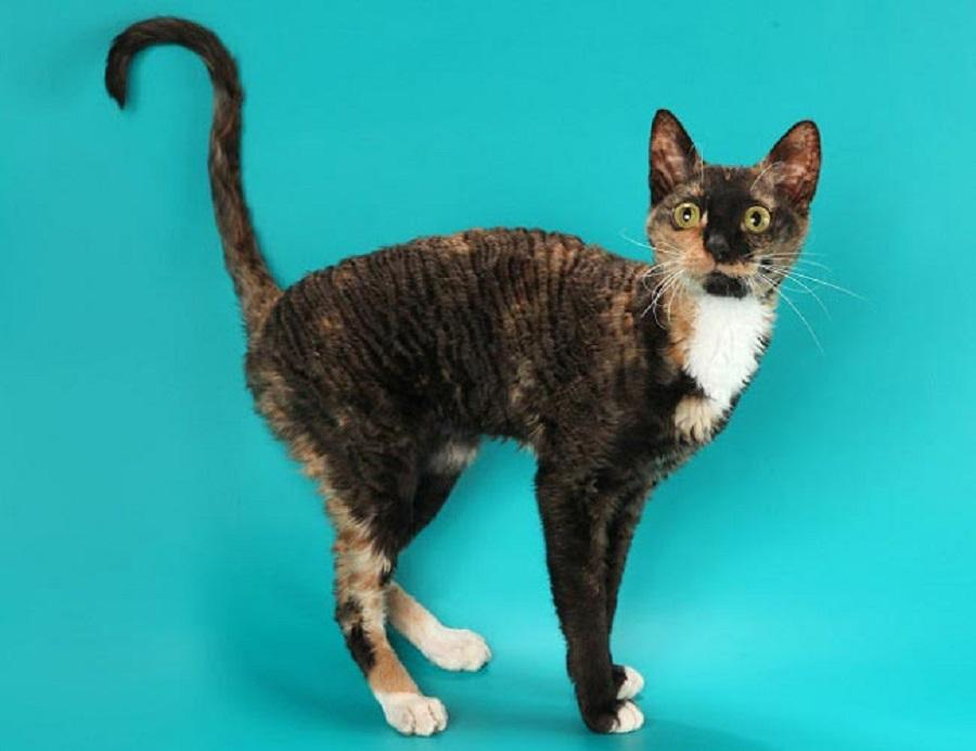 Корниш-рекс: кудрявый кот с собачьим характером