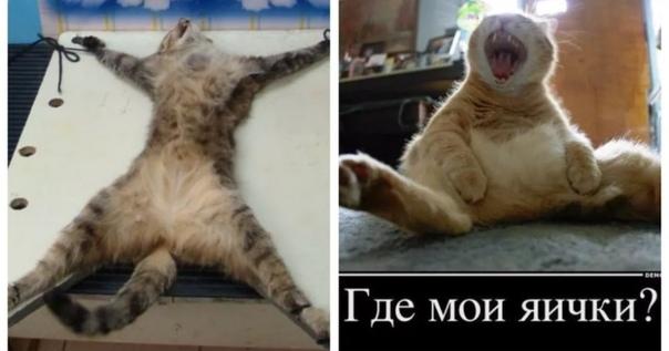 Почему кастрированный кот всё время мяукает — о животных на чистоту