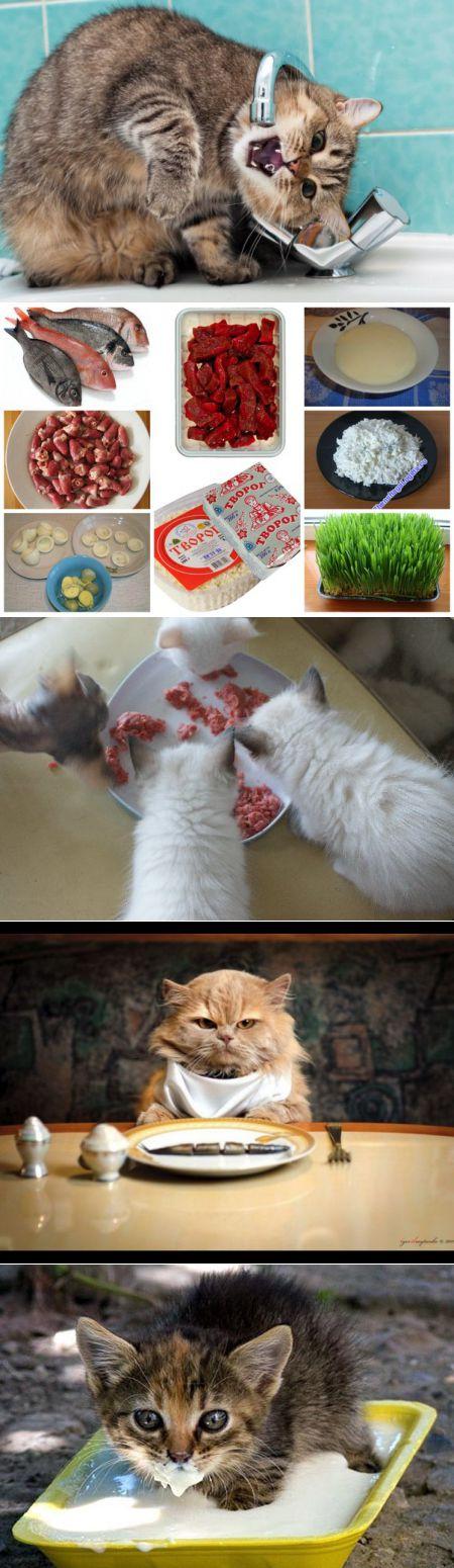 Чем кормить британскую кошку – правильный рацион, рекомендации